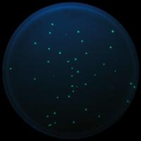 Escherichia coli K12 HB101 mit GFP
